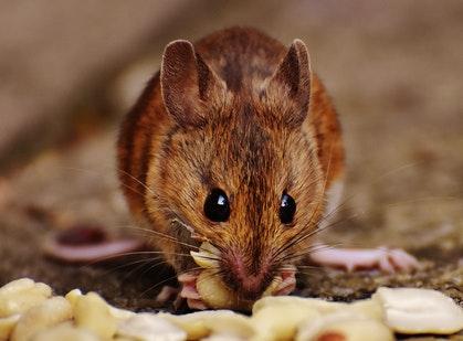 muizen-bestrijden
